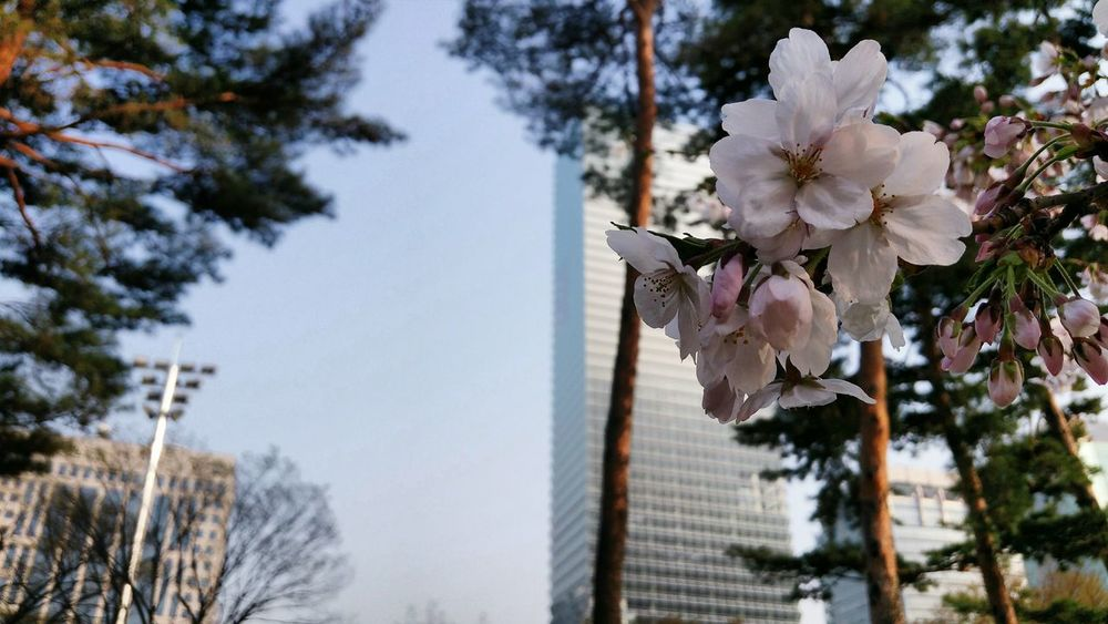 Cherry Blossom all over Yeouido Park 여의도공원 in Seoul, Korea 서울, 한국 No People Low Angle View Outdoors Flower Beauty In Nature Nature Day TreeGrowth Close-up Sky Urban Skyline Business Finance And Industry Springtime 꽃이피다 Cityscape City Samsung Galaxy S5
