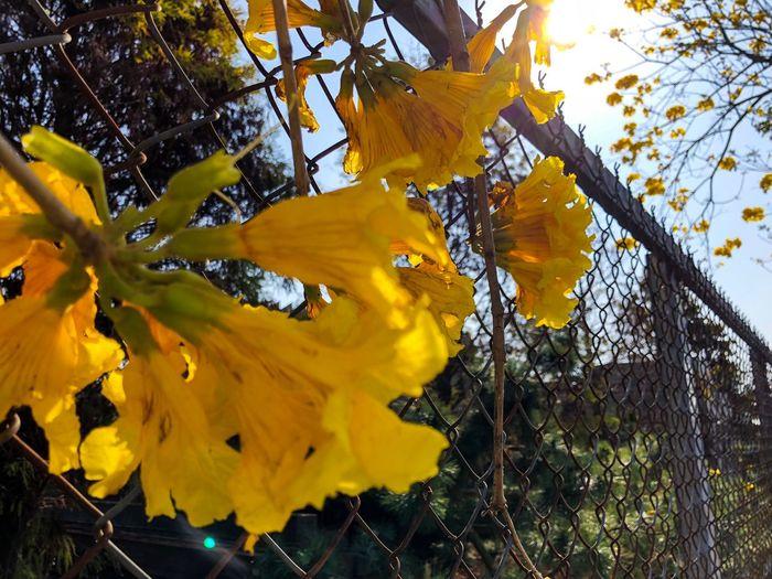 黃花風鈴木🌼btw這張照片到底怎麼了,雖然糊了但我很喜歡 Out Of Focus Color Yellow Flower Tabebuia Tabebuia Chrysantha Golden Trumpet Tree