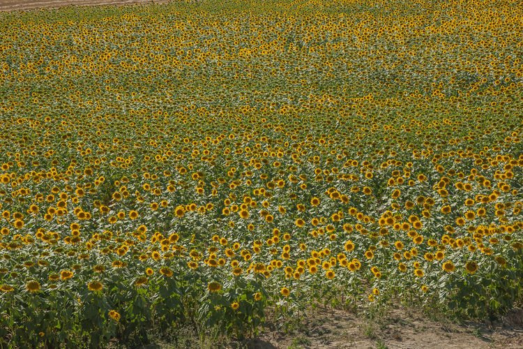 Plant Flower Growth Yellow Flowering Plant Beauty In Nature Field Land Landscape Agriculture Nature Freshness Rural Scene Environment Day No People Scenics - Nature Fragility Tranquility Outdoors Sunflower Flower Head Flowerbed Gardening