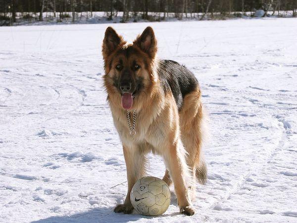 Atlas Shilohshepherd Shiloh Shepherd Germanshepherd German Shepherd Winter Ball Dog