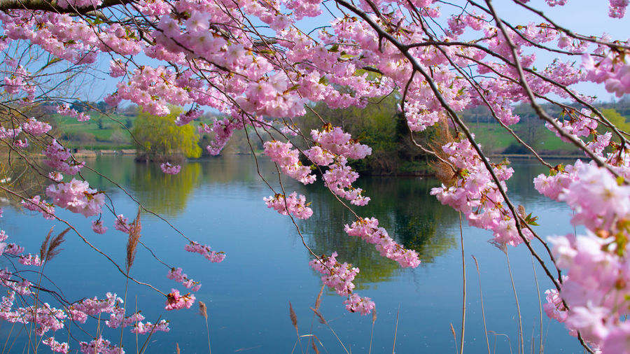 Pink cherry blossoms in lake