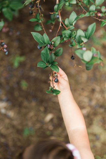 Little girl picking blueberry The Week on EyeEm Arm Berry Bestoftheday Blueberry Child Childhood Close-up Day Food Freshness Fruit Growth Healthy Eating Human Body Part Human Hand Lifestyles Nature One Person Outdoors Plant Real Life Real People Summer Tree