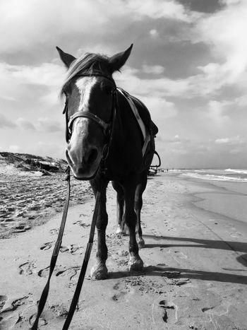 Domestic Animals Saddled Up And Ready To Go Horse Photography  Animal Photography Black & White Black And White Blackandwhitephotography Blackandwhite Beachphotography Lowangleshot Horseonthebeach Horse