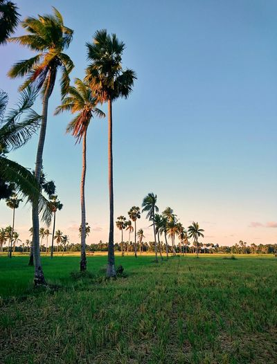 Palm trees on field against clear sky