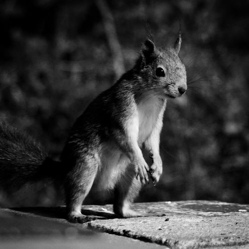 """EyeEm Selects """"My little friend - Miss Nutty"""" - One Animal Animal Themes No People Focus On Foreground Squirrel Animals In The Wild Outdoors Nature Mammal Close-up Day Morning Morning Light Morningvisit Nuteater Beauty In Nature Eyeemnorway EyeEm Best Shots - Nature EyeEmNewHere EyeEm Nature Lover EyeEmBestPics Summertime EyeEm Best Shots - Black + White EyeEm Animal Lover"""