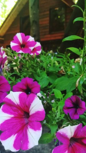 Pink Green EyeEm Best Shots EyeEm Nature Lover Nature Day Garden House Flower Head Flower Petunia Pink Color Periwinkle Petal Close-up Plant In Bloom Pansy Botany Plant Life Magenta Pollen Blossom Crocus Blooming Cosmos Flower Iris - Plant