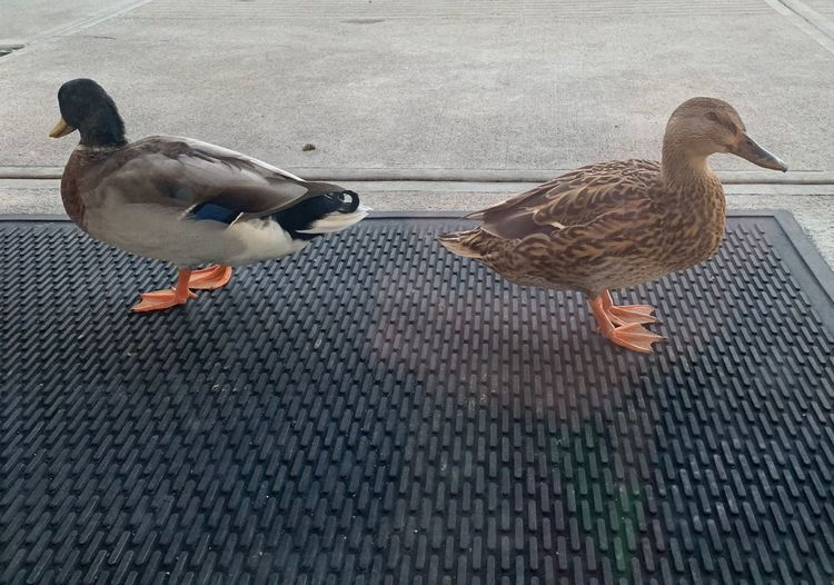 High angle view of ducks on street