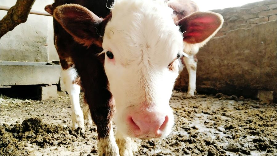 Cattle Eyesight
