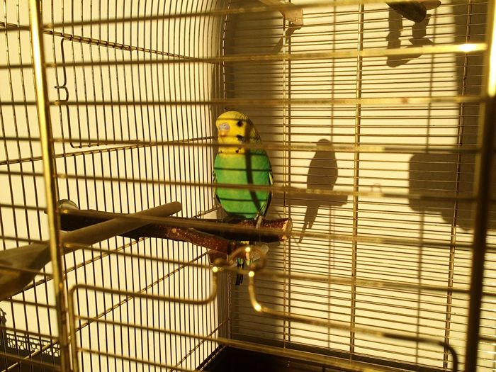 Budgerigar in cage during sunny day