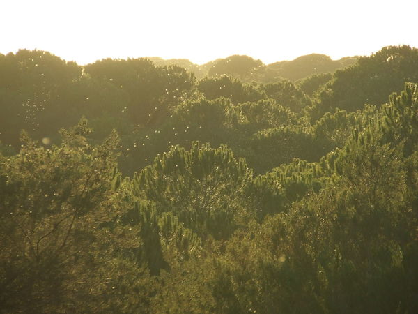 Beauty In Nature Doñana Green Color La Algaida Landscape Lush Foliage Mountain Pinar De La Colonia Monte Algaida Pine Tree Pinetree Top Pinewood Remote Sky Solitude Tranquil Scene Tree Tree Top Tree Tops Tree Tops And The Sky