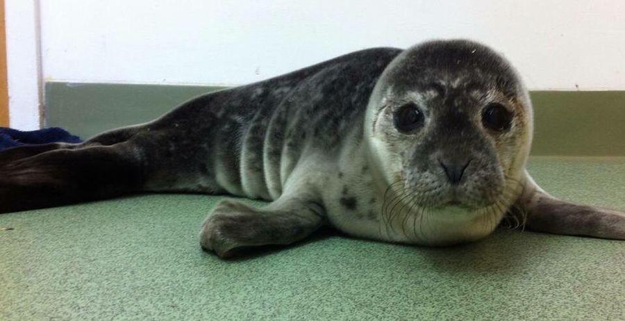 Seal pup Animal Themes Close-up Lying Down Looking At Camera Mammal Portrait No People Wildlife & Nature Wildlife EyeEmNewHere