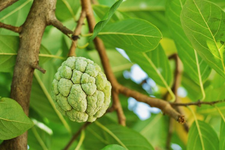 Low Angle View Of Custard Apple Growing On Tree