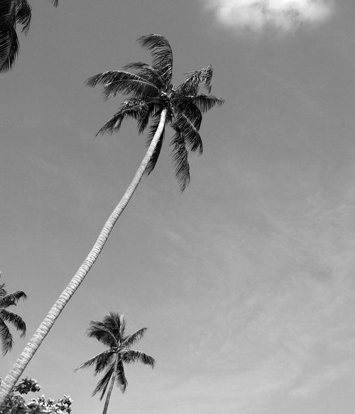 Coconut palm trees Beauty In Nature Black And White Color Low Angle View Nature Palm Tree Sky Tree