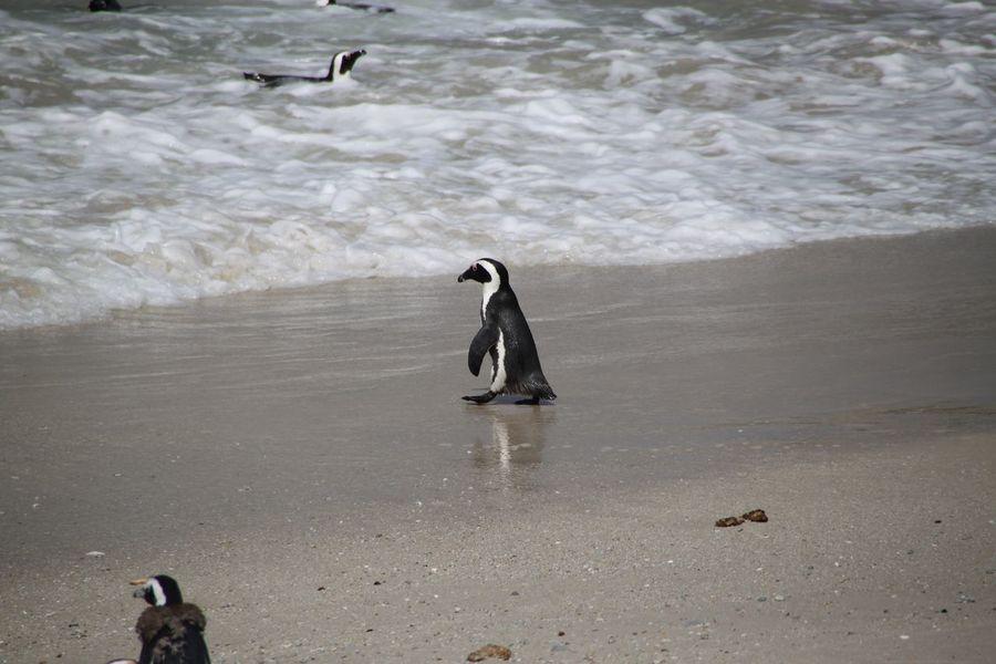 Pinguin Animal Bird Birds Penguin Penguins Pinguin Pinguins  Seabird Seabirds Vogel