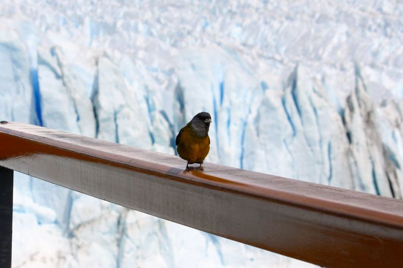 Cute small wild bird on a wooden railing in a glacial environment