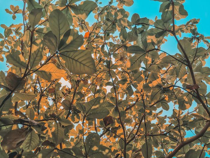 rhdr Leaves