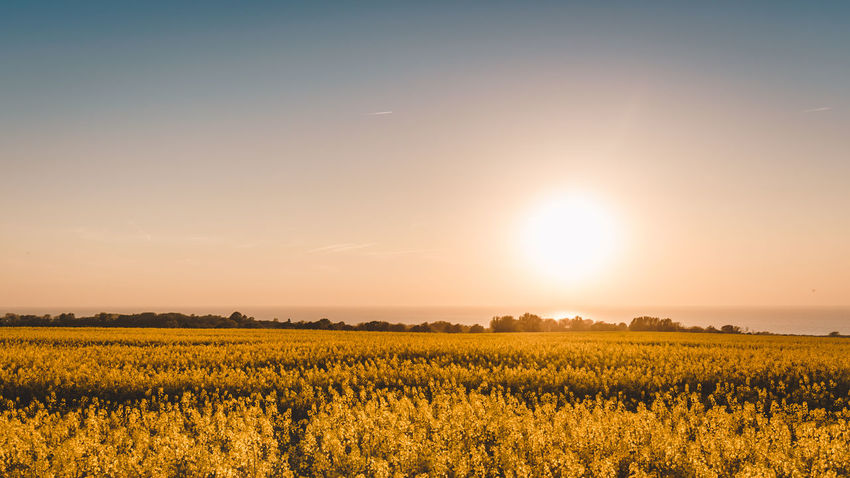 the Sun goes down Sunset_collection Agriculture Beauty In Nature Bright Crop  Environment Field Flower Growth Idyllic Land Landscape Lens Flare Nature No People Outdoors Plant Rural Scene Scenics - Nature Sky Sun Sunlight Tranquil Scene Tranquility Yellow
