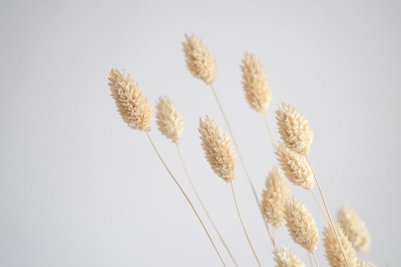 Winter Beauty In Nature Cereal Plant Close-up Day Decoration Dried Flower Ear Of Wheat Flower Flower Head Flower Stem Fragility Growth Low Angle View Nature No People Plant Still Life Wheat White Background