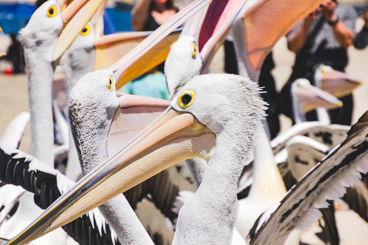 close up of pelicans at a local beach waiting for a regular feed by a local fish market Bird Vertebrate Animal Animal Themes Focus On Foreground Animal Wildlife Animals In The Wild Group Of Animals Day Beak Close-up No People Nature Pelican Outdoors Large Group Of Animals Sunlight Flock Of Birds