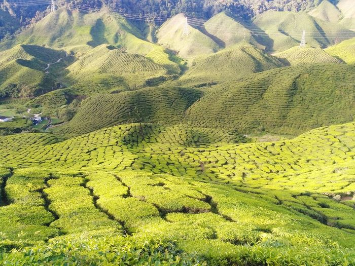 Agriculture Nature Day No People Landscape Outdoors Beauty In Nature Tea Crop Perspectives On Nature Nature Beauty In Nature Travel Photography Wanderlust High Angle View Freshness Refreshment Tea Plantations Tea Terrace Cameron Highlands Malaysia Scenery Bharat Tea