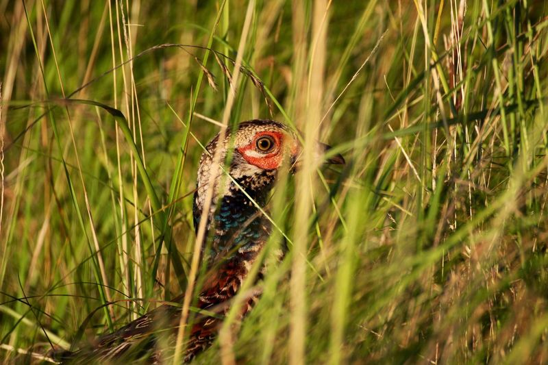 Close-up of pheasant in grass