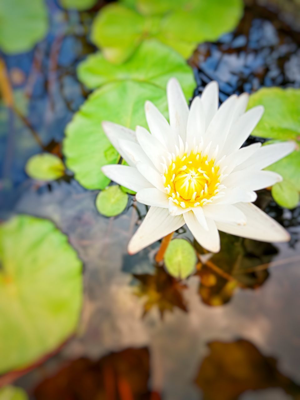 flower, flowering plant, vulnerability, fragility, plant, freshness, beauty in nature, petal, inflorescence, growth, flower head, close-up, nature, water, water lily, yellow, white color, lake, day, leaf, no people, outdoors, pollen, floating on water, lotus water lily
