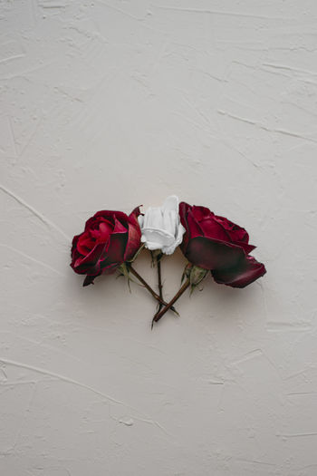 Close-up of rose roses against white wall