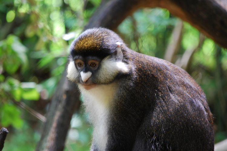 Animal Themes Animal Wildlife Close-up Day Guenon Monkey Heart Nose Mammal Monkey Nature No People One Animal Outdoors Tree