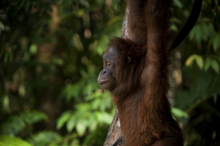 Orang Utan in Wild Animal Themes Animals In The Wild Ape Beauty In Nature, Endangered Animals Forest INDONESIA Kalimantan Monkey Orang Utan Photography Primate Sumatra  Wild Animals