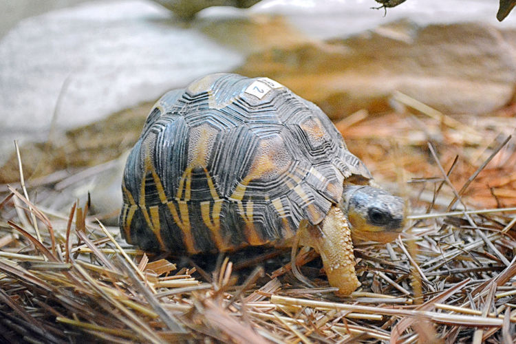 Reptile Animal Themes Animal Wildlife Day Indoors  No People One Animal Turtle The Week On EyeEm Tortoise Tortoise Shell Close-up Nature