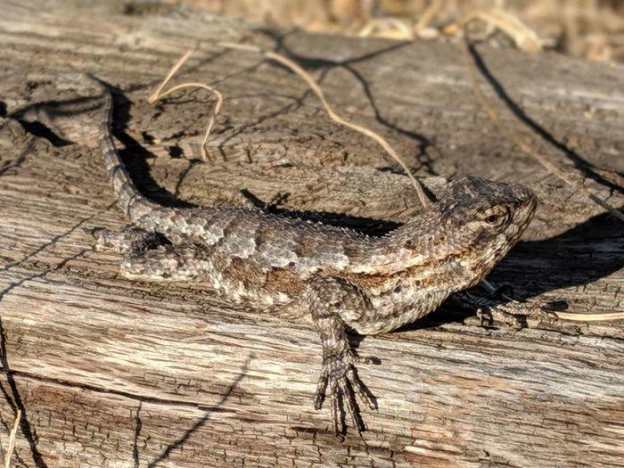 Reptile Wood -