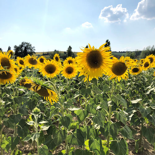 Close-up of yellow sunflowers on field