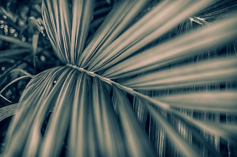 Palmeiras Blackandwhite Silver Colored EyeEm Selects Full Frame No People Close-up Backgrounds Pattern Still Life Selective Focus Palm Tree Leaf High Angle View Palm Leaf Creativity Abstract Day Large Group Of Objects