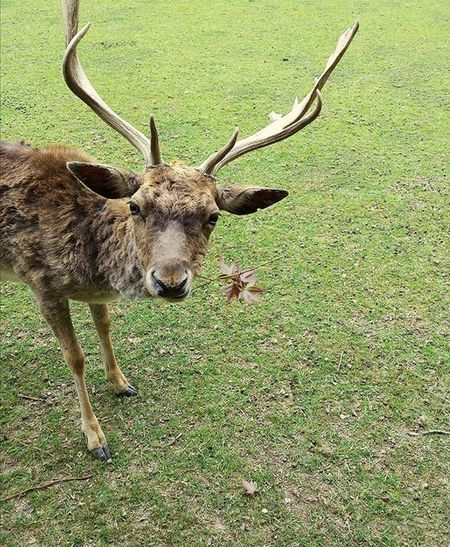 Hey, what are you looking at? Fallowdeer Deer Funny Antlers Animal