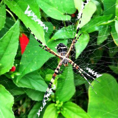 Slave Arachnid Nature Beauty Outdoors Ourbestshots Spider Instabelasfotos Instagramhub Islandlivity Islandlife
