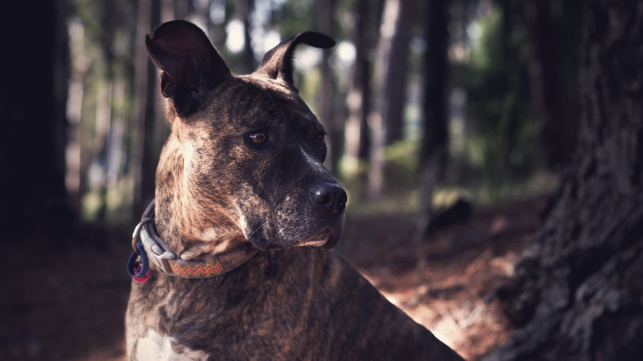 American staffordshire terrier standing in forest