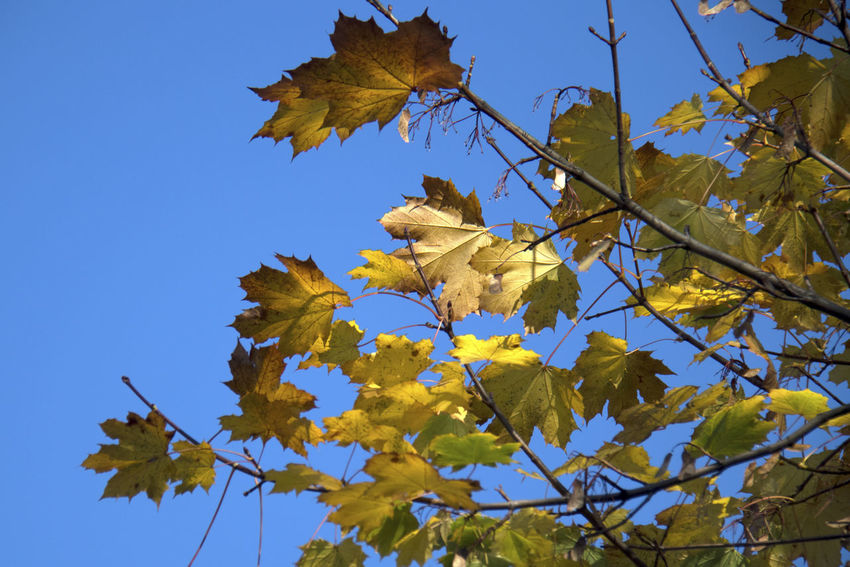 Leaf Plant Part Yellow Autumn Low Angle View Plant Sky Tree Branch Nature Change Beauty In Nature No People Growth Clear Sky Day Maple Leaf Blue Vulnerability  Close-up Outdoors Leaves Natural Condition