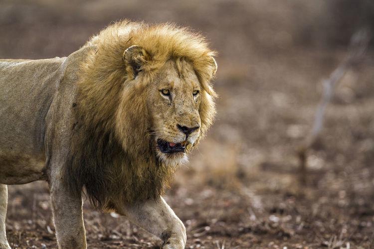 Lion walking on land