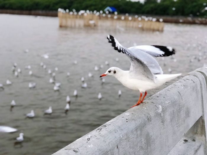 Bird Vertebrate Animal Themes Animal Animals In The Wild Animal Wildlife Water One Animal Focus On Foreground No People Nature Lake Day White Color Outdoors Poultry Side View Seagull