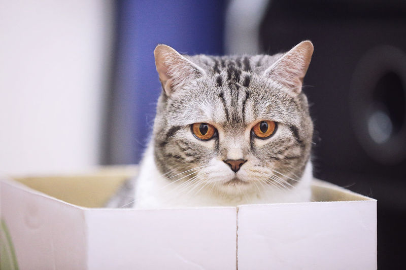 Cat in the box Animal Themes Cat Cats Of EyeEm Close-up Day Domestic Animals Domestic Cat Focus On Foreground Indoors  Looking At Camera Mammal No People One Animal Pets Portrait