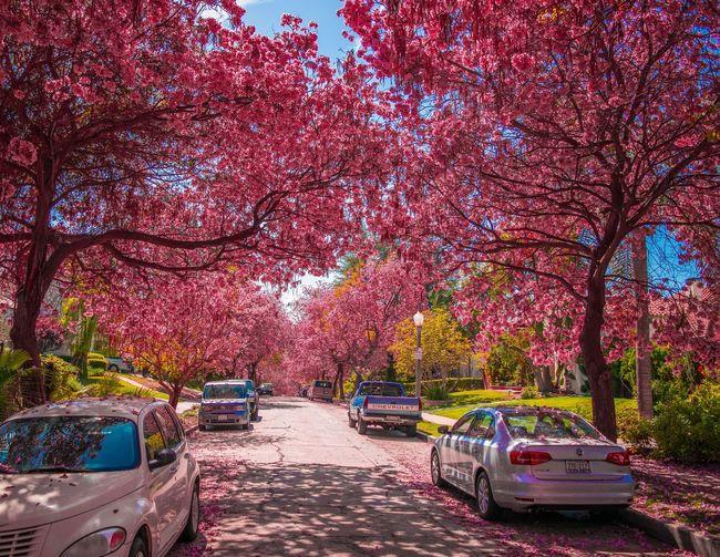 Pink Trees Blue Sky Urban Photography Street Photography Trees Trees And Sky