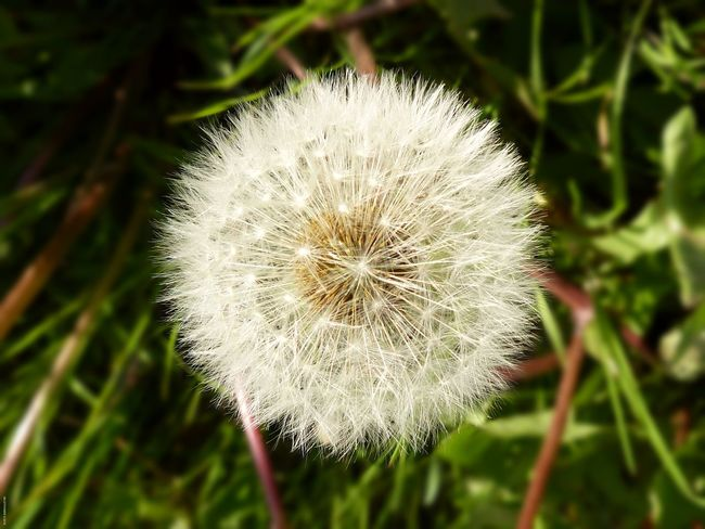 Beauty In Nature Blossom Botany Close-up Dandelion Dandelion Seed Day Flower Flower Head Focus On Foreground Fragility Freshness Growth In Bloom Nature No People Outdoors Selective Focus Softness Stem Uncultivated White White Color Wildblume Wildflower