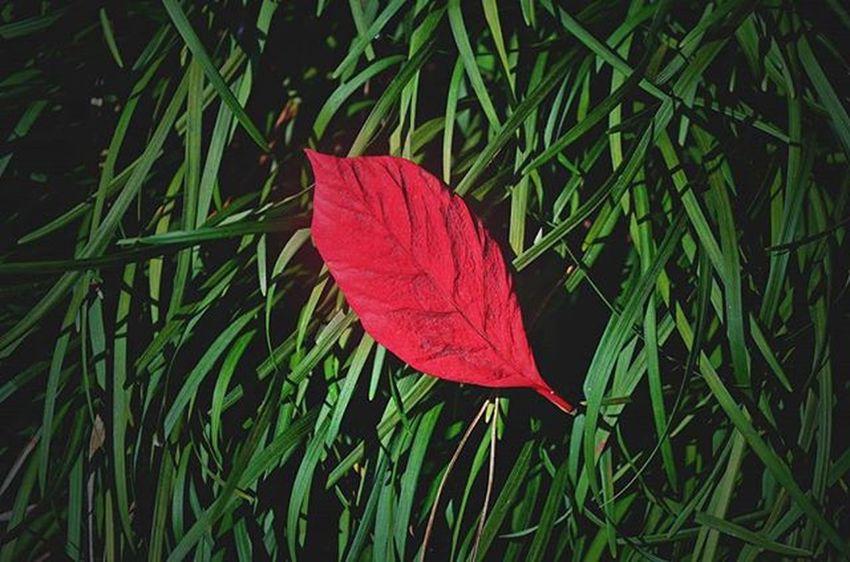 Leaf Grass Photographer Photography Green_green Redleaf Picoftheday Likeforlike Followforfollow Nikon Nikon_photography India Shillong Image