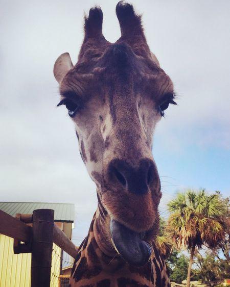 Up close and personal Hi! Cheese! Giraffe Zoo Fun