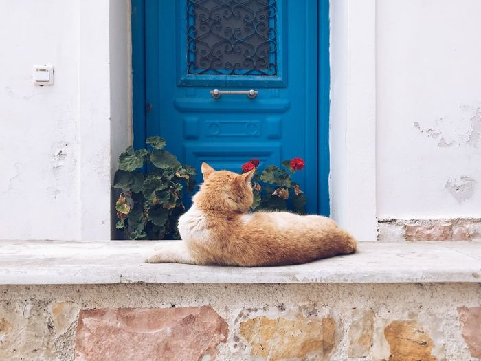 Red cat in front of a blue wooden door Relaxation Copyspace Wallpapers Wall - Building Feature Wooden Texture Doorway Door Exterior Design Exterior Building Home Whisker Animal Red Cat Entrance Door No People Day Mammal Animal Closed Built Structure Animal Representation Building Exterior Animal Themes House Domestic Pets Architecture Building Vertebrate