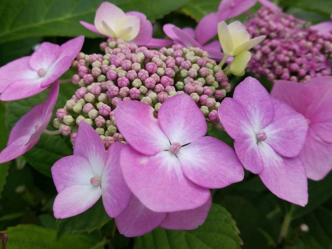 Stages of Blooming Hortensia Hortensia Flower Hortensia Buds Pink Color 50 Shades Of Pink Flower Pink Color Beauty In Nature Plant Nature Fragility Petal Blossom Flower Head Close-up No People Growth Outdoors