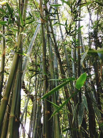 Bambuzal Bambu nature Green Color Bamboo - Plant Beauty In Nature Tranquility Day Forest Plant