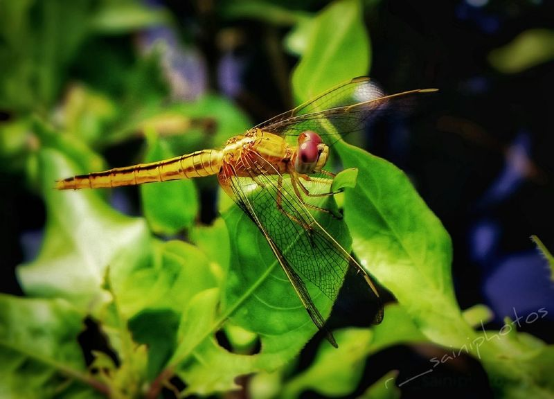 #dragongfly #Dragonfly Animals In The Wild Animal Wildlife Leaf One Animal Insect Animal Themes Outdoors