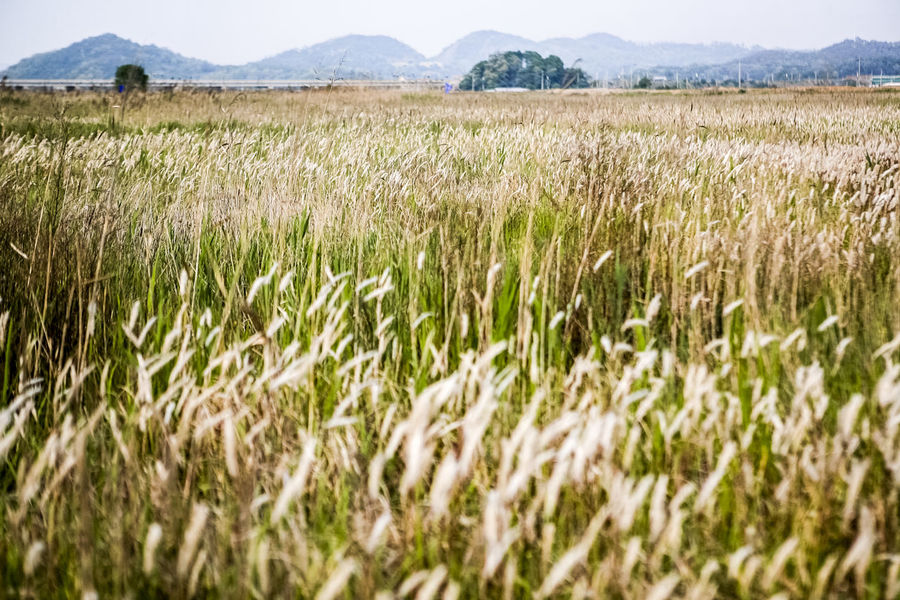 Agriculture Crop  Day Farm Field Grass Green Color Growing Growth Marshland  Nature No People Outdoors Plant Remote Rural Scene Silver Grass Tranquility Tree Wilderness