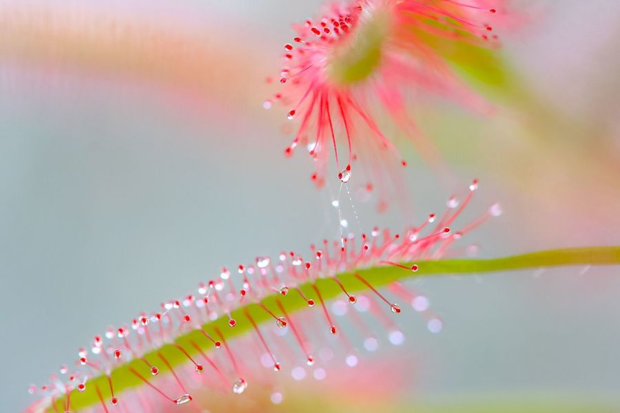 There's chemistry between us Macro Nature Plant Beauty In Nature Macro Beauty Sundew Carnivorous Plant Drops Freshness Close-up Growth Focus On Foreground Fragility Drosera